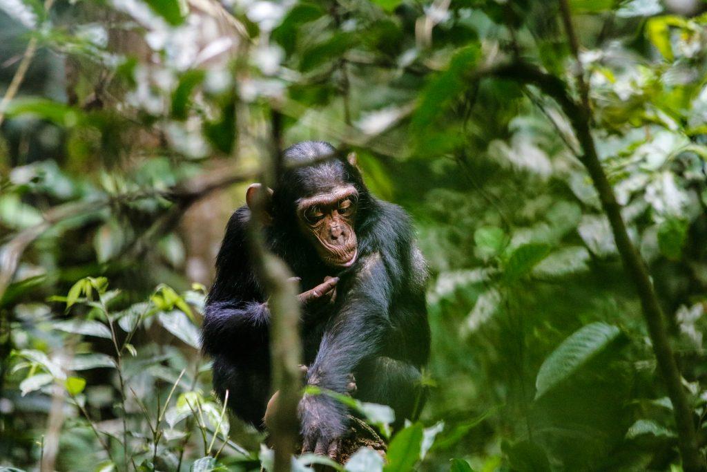 Oeganda-chimpansee