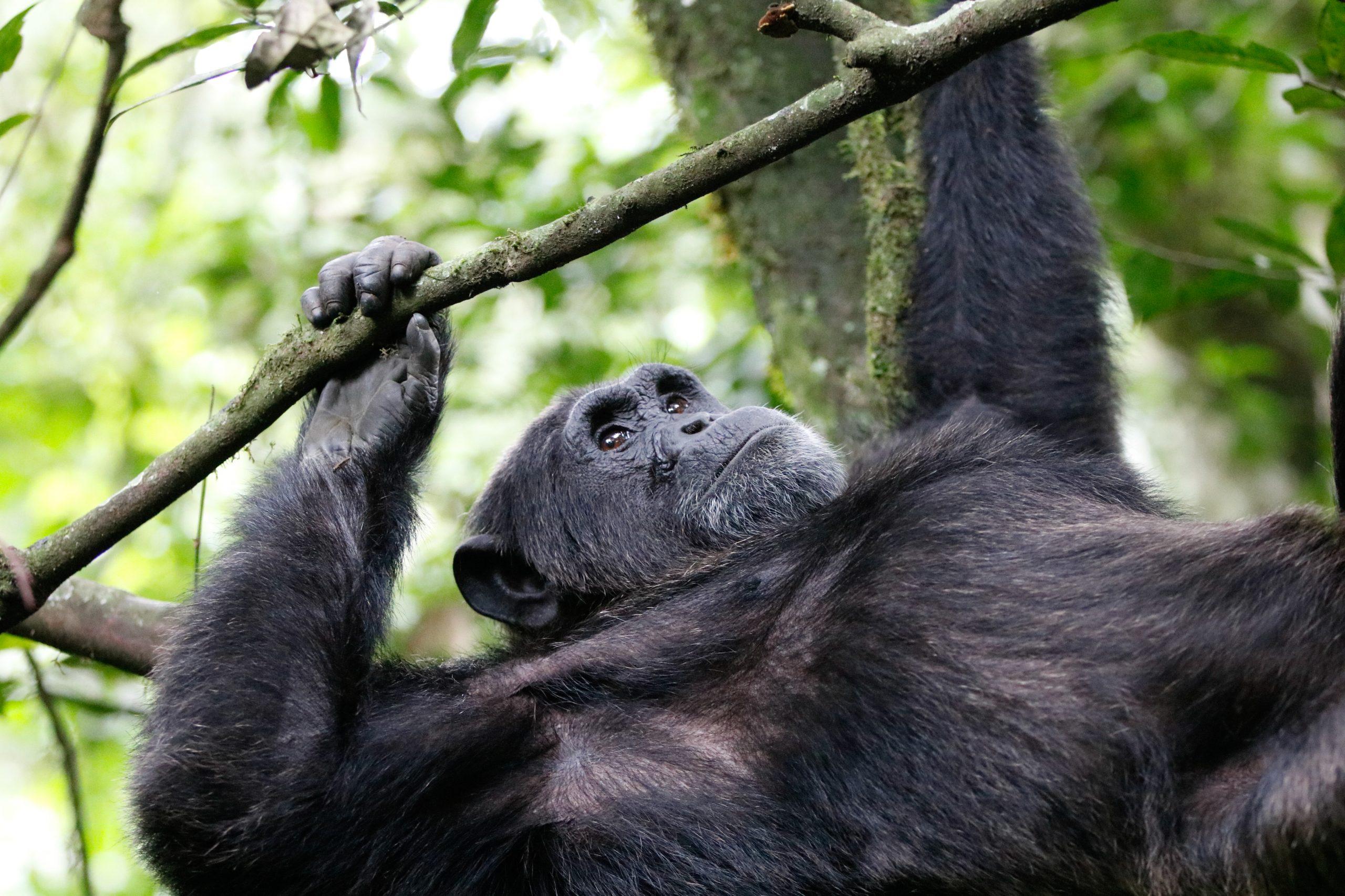 oeganda-gorilla