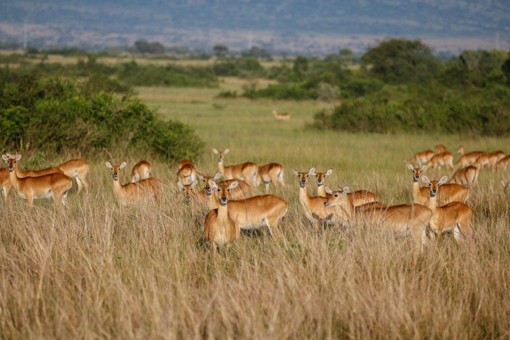 Oeganda-dieren