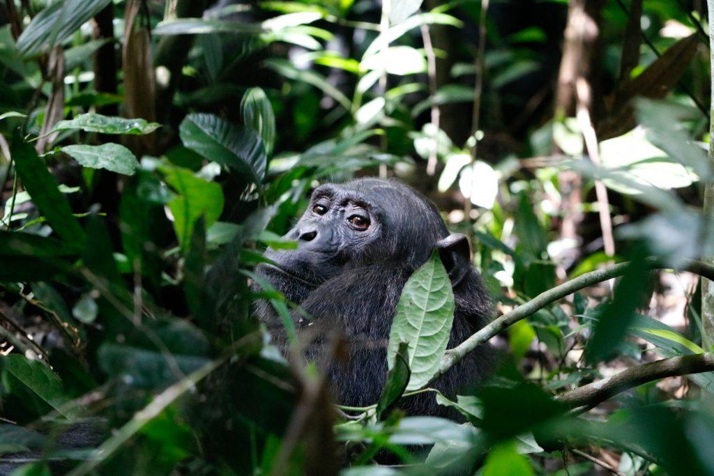 chimpansee-trekking-kibale
