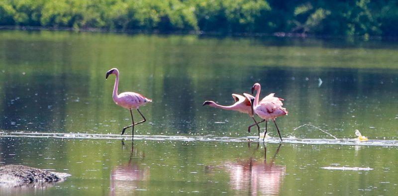 2018-reis-flamingo's
